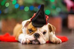 Le bouledogue anglais de chiot mignon avec la tête de cerfs communs cornuted sur le tapis rouge près de l'arbre de Noël avec des  Photo stock