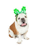 Le bouledogue drôle m'embrassent bandeau de St Patricks Photo libre de droits