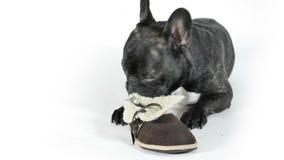 Le bouledogue français lèche des chaussures banque de vidéos