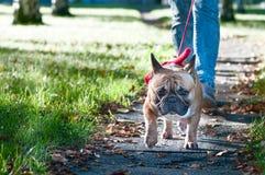 Le bouledogue français marche en parc d'automne Photos stock