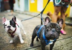 Le bouledogue français prennent à une promenade le beau concept d'animal de compagnie Photos stock