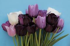 Le bouquet coloré de pourpre, blanc colore des tulipes sur le fond bleu Photo stock