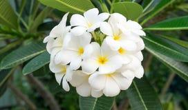 Le bouquet de Plumeria Photos libres de droits