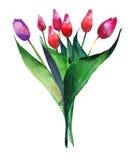 Le bouquet de raffinage lumineux merveilleux de rose rouge et du pourpre de tulipes fleurit le croquis de main d'aquarelle Image libre de droits