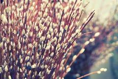 Le bouquet de saule Modifié la tonalité pour Instagram Photographie stock libre de droits