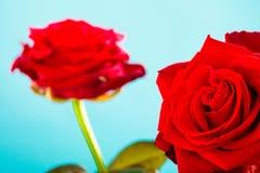 Le bouquet des roses rouges de floraison fleurit sur le bleu Photo stock