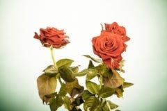 Le bouquet des roses rouges de floraison fleurit sur le vert Image libre de droits