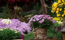 Le bouquet du beau chrysanthème fleurit dehors Photo stock