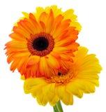 Le bouquet du Gerbera Photos libres de droits