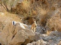 Le bouquetin de Nubian dans le désert de Judean Image stock