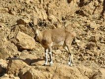 Le bouquetin de Nubian dans le désert de Judean Photo libre de droits