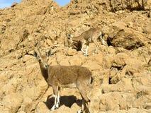 Le bouquetin de Nubian dans le désert de Judean Photographie stock