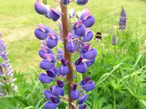 Le bourdon de vol porte le pollen Photographie stock