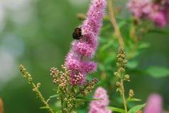 Le bourdon monte la fleur rose recueillant le pollen Image libre de droits