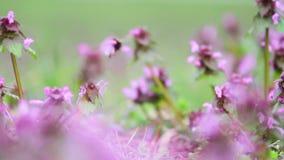 Le bourdon pollinise des fleurs de pré de ressort banque de vidéos