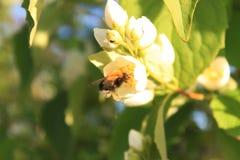 Le bourdon rassemble le nectar des fleurs Image stock