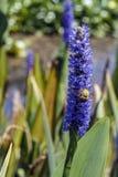 Le bourdon rassemble le pollen d'une fleur bleue de pontederia Images stock