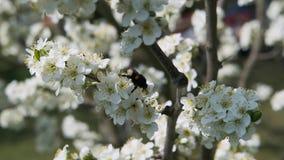 Le bourdon rassemble le nectar dans un arbre fruitier avec le mouvement lent de pétales blancs banque de vidéos