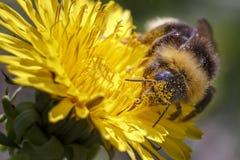 Le bourdon rassemble le pollen images libres de droits