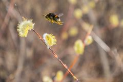 Le bourdon rassemble le pollen de nectar, pollinise une fleur images stock