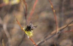 Le bourdon rassemble le pollen de nectar, pollinise une fleur image libre de droits