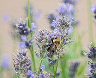 Le bourdon rassemble le pollen des fleurs photographie stock libre de droits