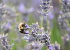 Le bourdon rassemble le pollen des fleurs image stock