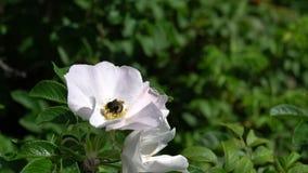 Le bourdon rassemble le pollen sur le bourgeon blanc de bruyère sur le fond du parc ou du jardin Vid?o de longueur de HD banque de vidéos