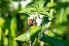 Le bourdon rassemble le pollen sur des fleurs d'ortie au printemps insectes et animaux photo stock