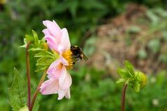 Le bourdon recueille le nectar sur le dahlia dans le jardin d'été photographie stock