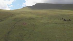 Le bourdon a tiré d'un troupeau de chevaux frôlant dans un pré dans les montagnes banque de vidéos