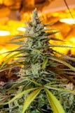 Le bourgeon d'intérieur de marijuana sous chaud élèvent des lumières Image libre de droits