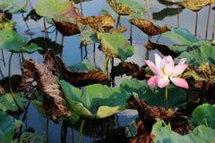 Le bourgeon d'une fleur de lotus rose Image libre de droits