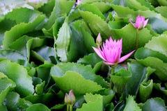 Le bourgeon d'une fleur de lotus rose Photographie stock libre de droits