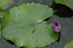 Le bourgeon de lotus Image stock