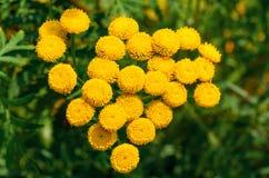Le bourgeon des petites fleurs jaunes Photo stock