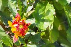 Le bourgeon du dahlia orange rouge est dissous images stock