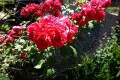 Le bourgeon entrouvert du corail rouge s'est levé dans le jardin photo libre de droits