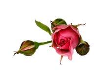 Le bourgeon floral d'un rose s'est levé Image stock