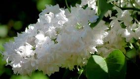 Le bourgeon luxuriant du lilas avec les fleurs blanches rayonne au soleil par les feuilles banque de vidéos