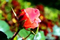 Le bourgeon rose du thé s'est levé photographie stock libre de droits