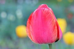 Le bourgeon rouge d'une tulipe sur le fond vert photos libres de droits