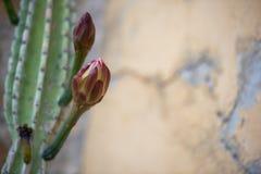Le bourgeon sur la tige d'un cactus sur un fond des murs jaune-clair avec la fente photos stock