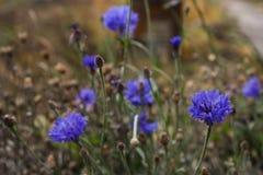 Le bout du bleuet d'automne image libre de droits