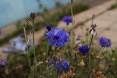 Le bout du bleuet d'automne photo libre de droits