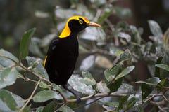 Le Bowerbird du régent en clairière feuillue Photos libres de droits