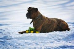 Le boxeur bringé de races intelligentes de chien se situe en hiver sur la neige avec Photos stock