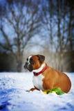 Le boxeur rouge de races intelligentes de chien se situe en hiver sur la neige avec le flo Image libre de droits