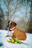 Le boxeur rouge de races intelligentes de chien se situe en hiver sur la neige avec le flo Photographie stock