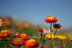 Le bracteatum de Helichrysum fleurit dehors dans un jardin Images stock